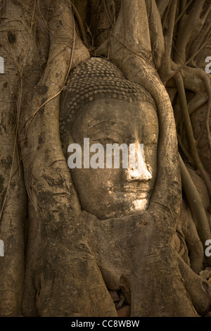 Head of a sandstone Buddha in the roots of bodhi tree, Wat Phra Mahathat, Ayutthaya, Thailand - Stock Photo
