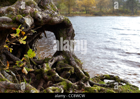 Tree root shapes by Loch Eck, Argyll, Scotland - Stock Photo