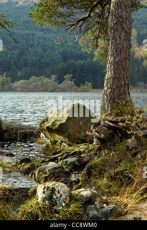 Tree root Scots Pine trunk by Loch Eck, Argyll, Scotland - Stock Photo