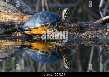 Florida Red-belly Turtle (Pseudemys nelsoni) and reflection - Stock Photo