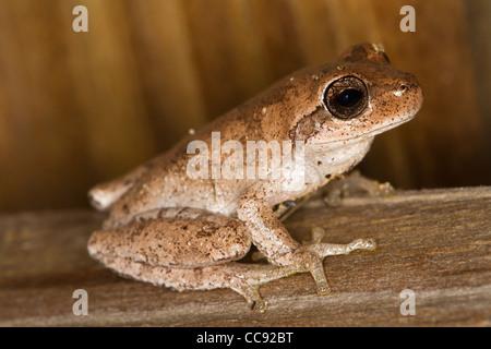 Brown morph of Squirrel Treefrog (Hyla squirella) - Stock Photo