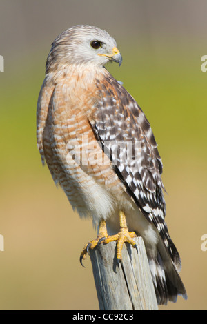 Florida Red-shouldered Hawk (Buteo lineatus floridanus) perched on a fencepost - Stock Photo
