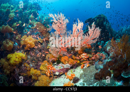 Coral reef scenery with gorgonian soft corals  Rinca Komodo National Park Indonesia. - Stock Photo