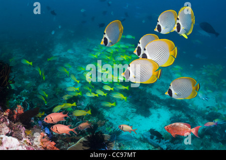 Panda butterflyfish (Chaetodon adiergastos) swimming over coral reef with snappers and soldierfish. Indonesia. - Stock Photo