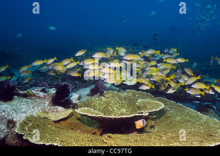 Blueline snappers (Lutjanus kasmira) school over coral reef. Indonesia. - Stock Photo
