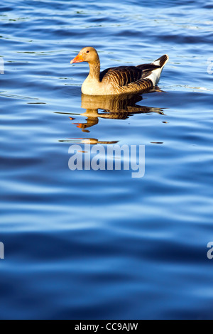 View of ducks in the lake Alster, Hamburg. - Stock Photo