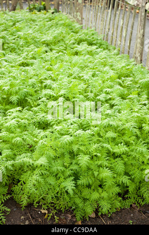 Phacelia tanacetifolia 'Balo', Scorpion Weed, grown as a green manure, RHS Rosemoor, Devon, England, United Kingdom - Stock Photo