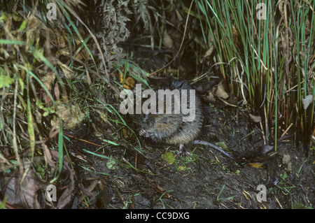 Water Vole Arvicola amphibius on bank of pond. UK - Stock Photo