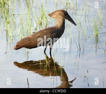 a bird named 'Hamerkop' in Uganda (Africa) while wading waterside - Stock Photo