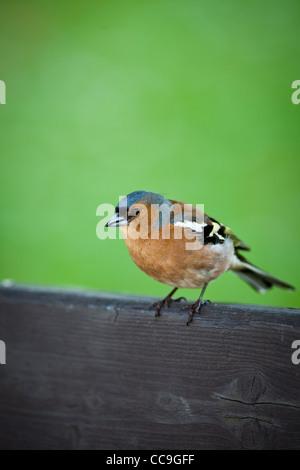 Male chaffinch (Fringilla coelebs) - Stock Photo