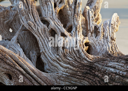 Fallen uprooted trees at Driftwood Beach on Jekyll Island, Georgia - Stock Photo