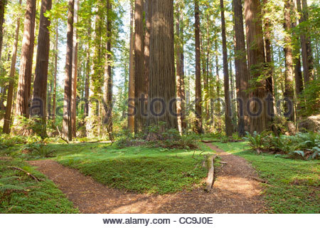 Path through redwood forest, Humboldt Redwoods State Park, California, United States - Stock Photo