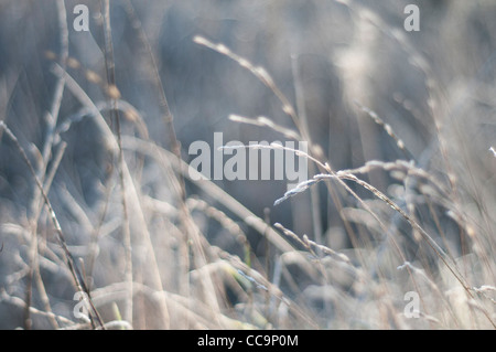 The sun on grasses on a freezing cold, frosty morning. Muted colours. A blurred background with grasses in focus - Stock Photo