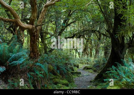 primeval forest on kepler track, fiordland, new zealand - Stock Photo