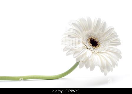 white gerbera flower isolated on white background - Stock Photo