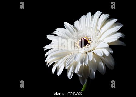 white gerbera flower isolated on black background - Stock Photo