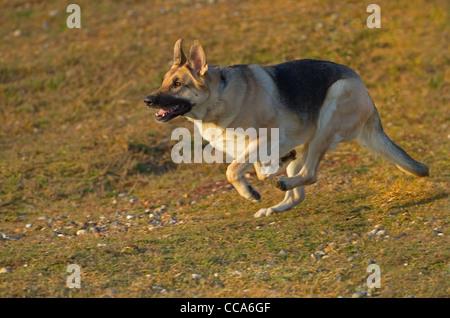 German Shepherd Dog running on sea wall - Stock Photo