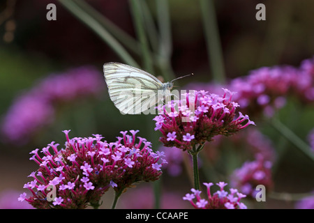 Green Veined White Butterfly on Clustertop Verbena - Stock Photo