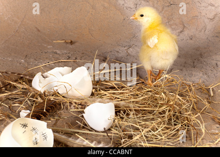 Yellow easter chick walking away from an eggshell with a calendar inside - Stock Photo