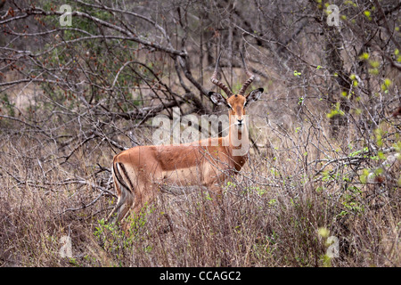 Impala ram at edge of forest in South Africa - Stock Photo