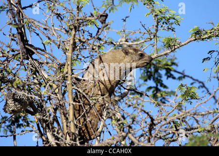 Rock dassie or hyrax in tree - Stock Photo