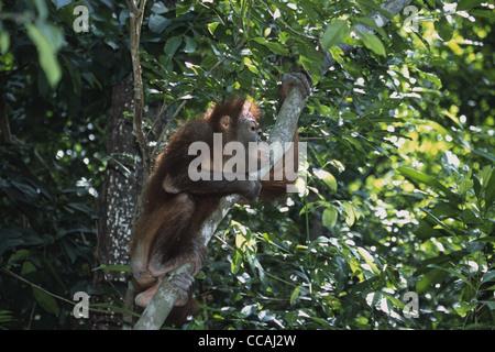 Bornean orangutan, Pongo pygmaeus - Stock Photo