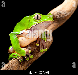 tree frog at night in amazon rain forest sitting on a jungle tree branch green treefrog - Stock Photo