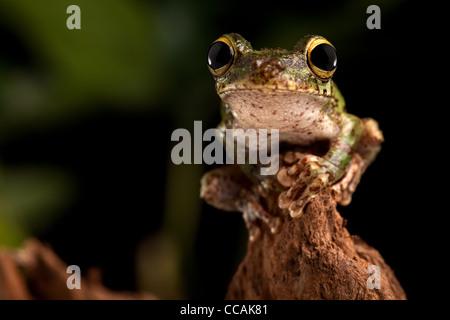 tree frog, Osteocephalus Sp. , Amazon rainforest Brazil - Stock Photo