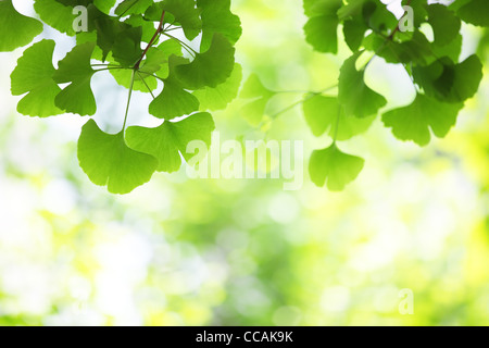 ginkgo leaves, shallow focus. - Stock Photo