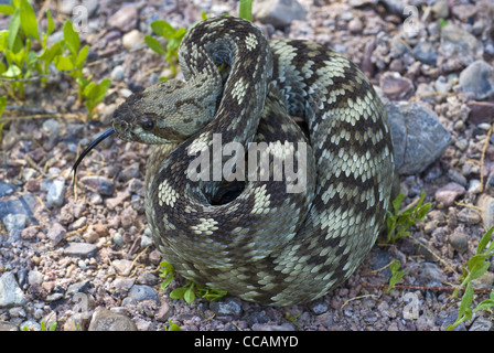 Northern Black-tailed Rattlesnake, (Crotalus molossus molossus), Quebradas, Socorro county, New Mexico, USA. - Stock Photo