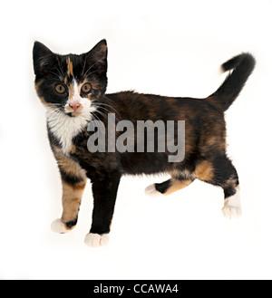 Kitten eleven weeks old walking on white background, UK - Stock Photo