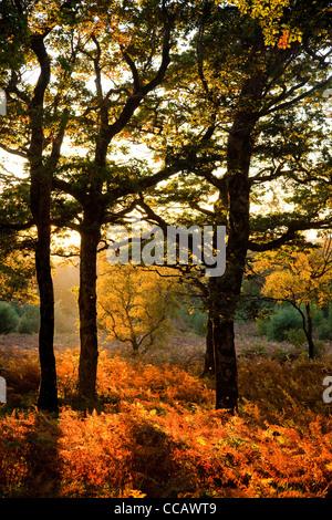 Evening light on autumn oak wood, Erriff Woods, County Mayo, Ireland. - Stock Photo