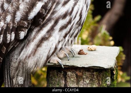 Talons of a Great Grey Owl, Strix nebulosa - Stock Photo