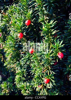 Red berries of the Irish Yew tree - Stock Photo