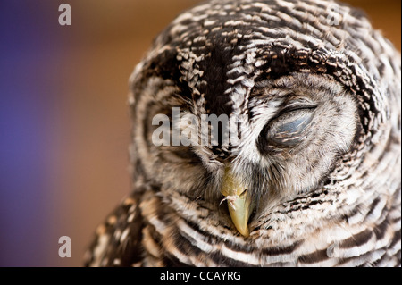 Chaco Owl Strix chacoensis - Stock Photo