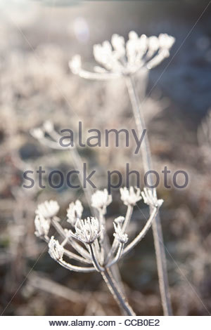 Frost covered cow parsley stalks in winter - Stock Photo