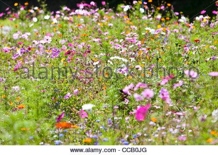 Blooming flowers in field of wildflowers - Stock Photo