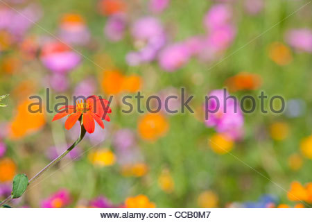 Orange blooming flower in field of wildflowers - Stock Photo