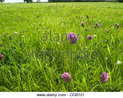 Purple clover blooming in grassy field - Stock Photo
