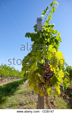 Bunches of purple grapes hanging on vine in vineyard - Stock Photo