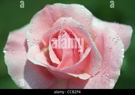 Beautiful fresh pink rose with morning dew, close-up on garden flower - Stock Photo
