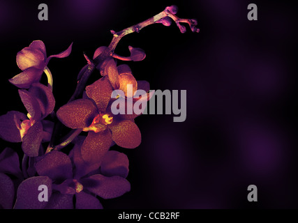 Beautiful Purple Orchid Flower Isolated On Dark Background