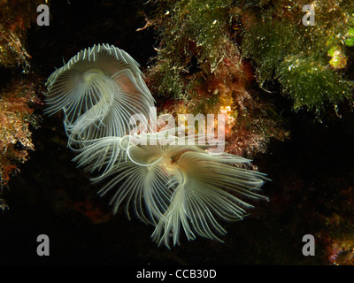 wreathy tuft tube worm in the mediterranean - Stock Photo