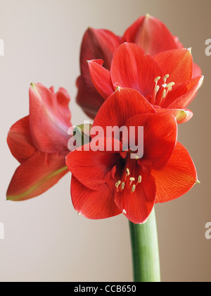 Red Amaryllis flower - Stock Photo