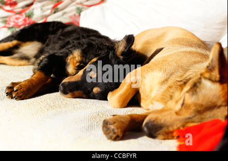 Two small dogs resting together in the sun - Stock Photo