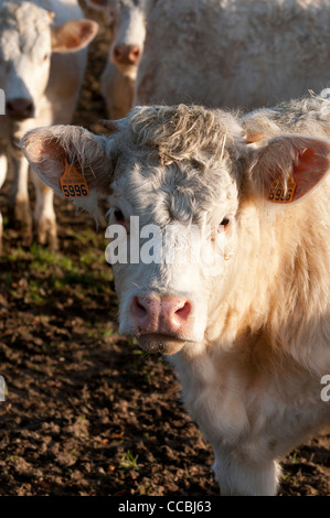 Young calf in mud - Stock Photo
