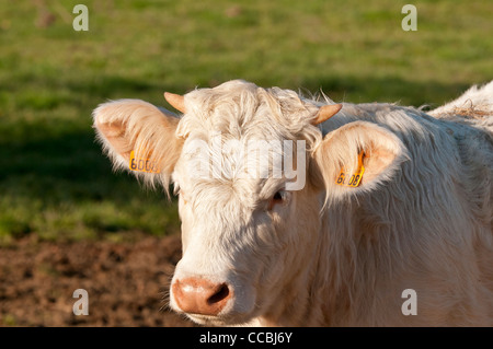Portrait of a young bull tagged in each ear. Its horns start to grow - Stock Photo