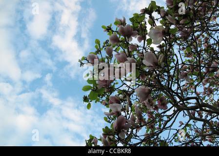 Tulip tree, low angle view - Stock Photo