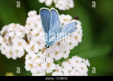 Brown argus butterfly (Aricia agestis) - Stock Photo
