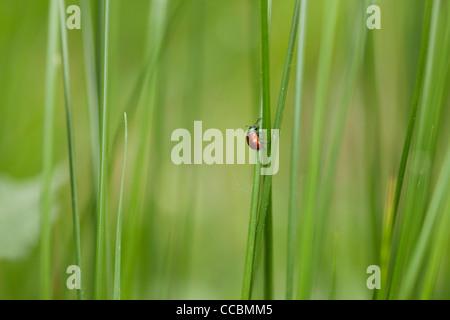Poplar leaf beetle (Chrysomela populi) crawling on blade of grass - Stock Photo